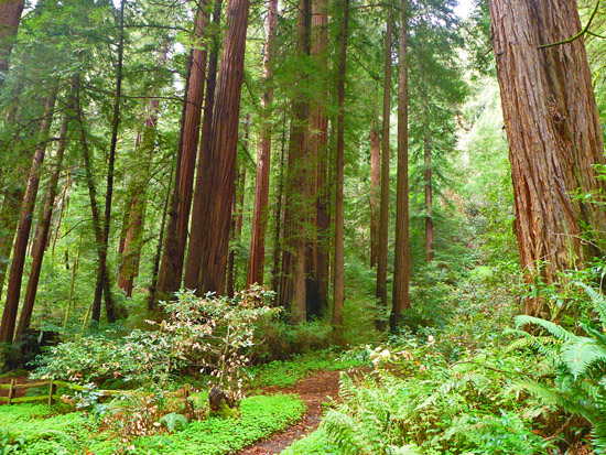 Redwood groves along the Pioneer Tree Trail
